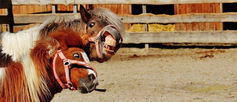 caballos relinchando